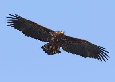 Zeearend, Haliaeetus albicilla, White-tailed eagle