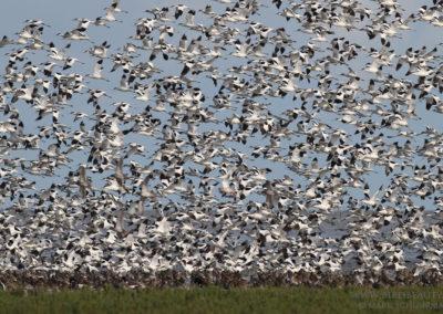 Kluut, Recurvirostra avosetta, Pied avocet