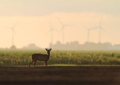 Ree, Capreolus capreolus, Roe deer