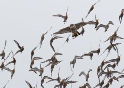 Slechtvalk, Falco peregrinus, Peregrine falcon