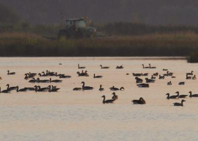 Grauwe gans, Anser anser, Greylag goose