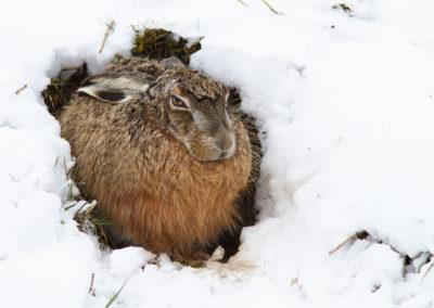 Haas, Lepus europaeus, Brown hare