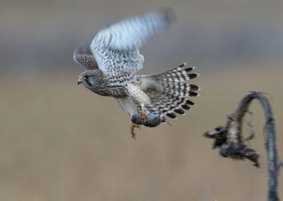 Torenvalk, Falco tinnunculus, Common kestrel