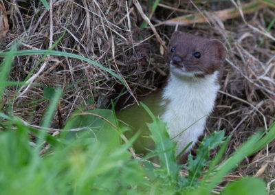 Wezel, Mustela nivalis, Least weasel | De Onlanden