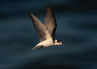 Zwarte stern, Chlidonias niger, Black Tern