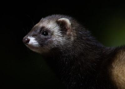 Bunzing, Mustela putorius, European polecat