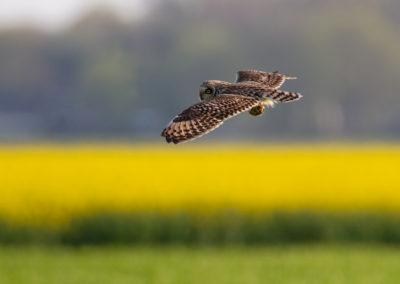 Velduil, Asio flammeus, Short-eared owl