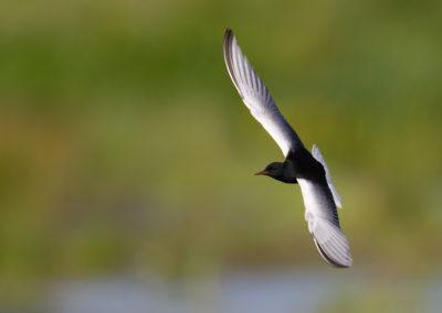 Witvleugelstern, Chlidonias leucopterus, White-winged tern