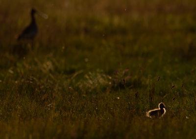 Grutto, Limosa limosa, Black-tailed godwit