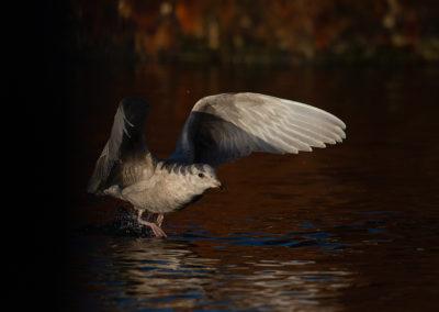 Kleine burgemeester, Larus glaucoides, Iceland gull