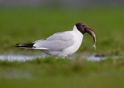 Kokmeeuw, Larus ridibundus, Black-headed gull