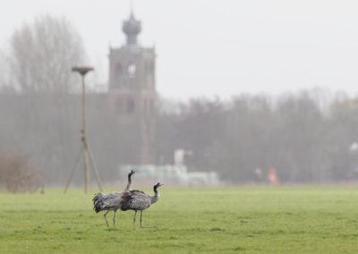 Kraanvogel, Grus grus, Common crane | Noordwolde