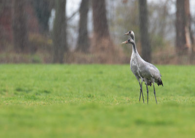 Kraanvogel, Grus grus, Common crane