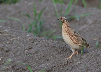 Kwartel, Coturnix coturnix, Common quail