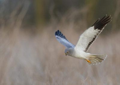 Blauwe kiekendief, Circus cyaneus, Hen harrier | Lauwersmeer