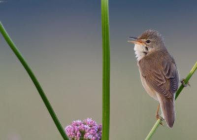 Bosrietzanger, Acrocephalus palustris, Marsh warbler | Lauwersmeer