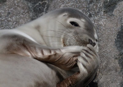 Gewone zeehond, Phoca vitulina, Common seal