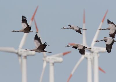 Kraanvogel, Grus grus, Common crane | Noordoost-Duitsland