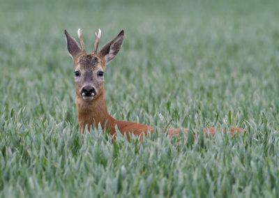 Ree, Capreolus capreolus, Roe deer | Emmapolder