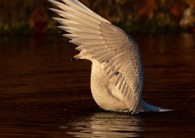 Kleine burgemeester, Larus glaucoides, Iceland gull | Haven Lauwersoog