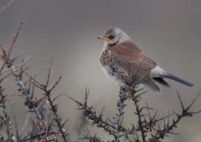 Kramsvogel, Turdus pilaris, Fieldfare