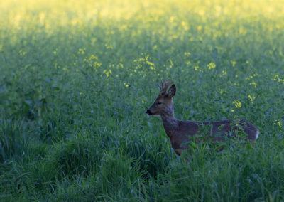 Ree, Capreolus capreolus, Roe deer | Oost-Groningen