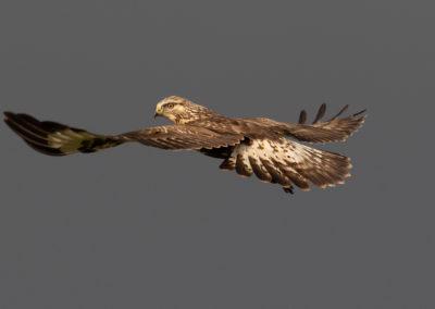 Ruigpootbuizerd, Buteo lagopus, Rough-legged buzzard | Roegwold