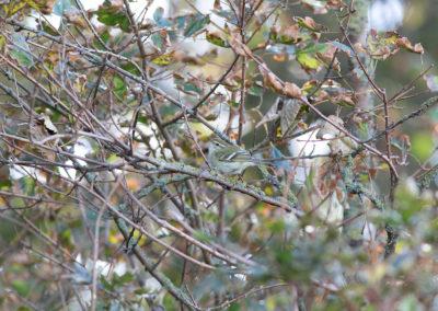 Bladkoning, Phylloscopus inornatus, Yellow-browed warbler