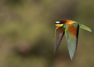 Bijeneter, Merops apiaster, European bee-eater