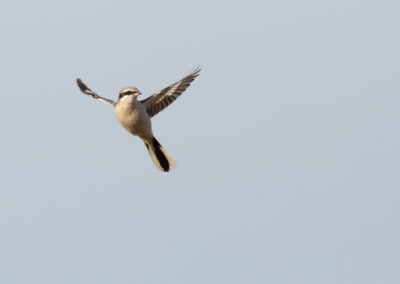Klapekster, Lanius excubitor, Great grey shrike | Roegwold
