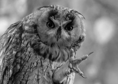 Ransuil, Asio otus, Long-eared owl | Eigen tuin
