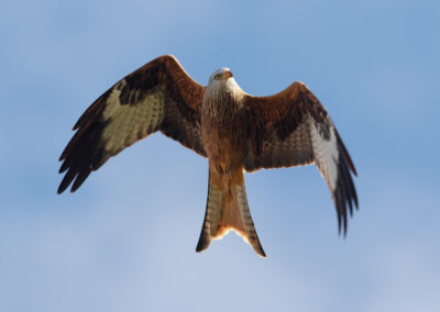 Rode wouw, Milvus milvus, Red kite | Duitsland