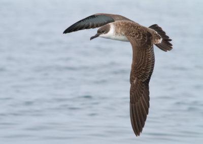 Grote pijlstormvogel, Puffinus gravis, Great shearwater