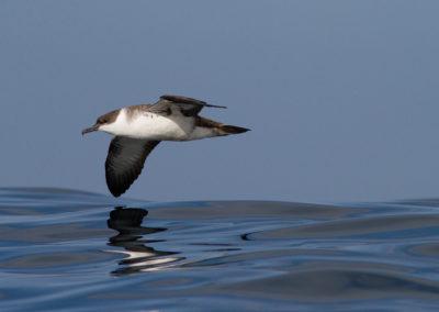 Grote pijlstormvogel, Puffinus gravis, Great shearwater   Algarve   Atlantic Ocean   Portugal