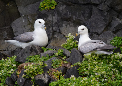 Noordse stormvogel, Fulmarus glacialis, Fulmar | IJsland
