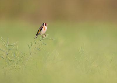 Putter, Carduelis carduelis, Europian goldfinch