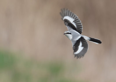 Klapekster, Lanius excubitor, Great grey shrike