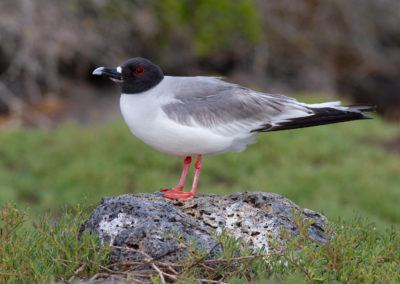 Zwaluwstaartmeeuw, Larus furcatus, Swallow-tailed gull