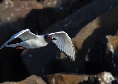 Zwaluwstaartmeeuw, Larus furcatus, Swallow-tailed gull | Ecuador | Galapagos eilanden