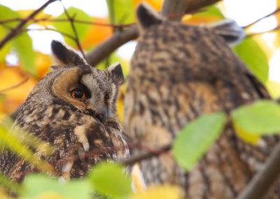 Ransuil, Asio otus, Long-eared owl