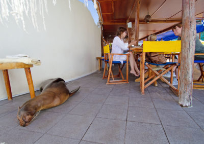 Galapagos zeeleeuw, Zalophus wollebaeki, Galapagos sea lion