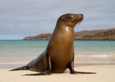 Galapagos zeeleeuw, Zalophus wollebaeki, Galapagos sea lion   Ecuador   Galapagos eilanden