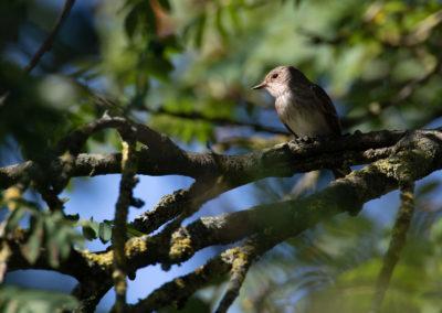 Grauwe Vliegenvanger, Muscicapa striata, Spotted flycatcher | Eigen tuin