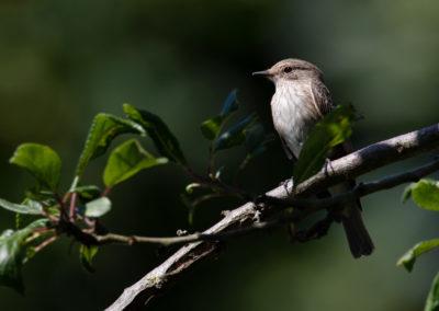 Grauwe Vliegenvanger, Muscicapa striata, Spotted flycatcher