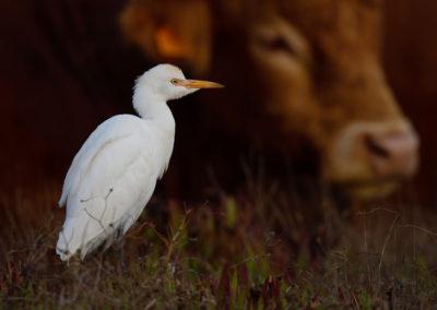 Koereiger, Bubulcus ibis, Cattle egret