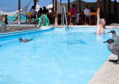 Lavameeuw, Larus fuliginosus, Lava gull | Ecuador | Galapagos eilanden