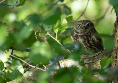 Steenuil, Athene noctua, Little owl | Peize