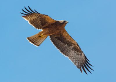 Dwergarend, Hieraetus pennatus, Booted eagle