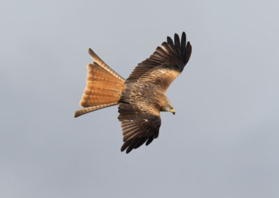 Rode wouw, Milvus milvus, Red kite