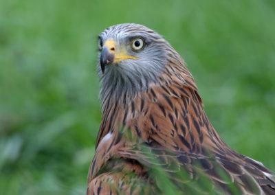 Rode wouw, Milvus milvus, Red kite   Zweden